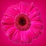 Heldere roze Gerber Daisy stock afbeeldingen