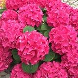 Heldere roze hydrangea hortensia Royalty-vrije Stock Foto