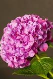 Heldere roze hydrangea hortensia op donkere achtergrond Royalty-vrije Stock Foto