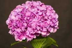 Heldere roze hydrangea hortensia op donkere achtergrond Stock Afbeeldingen