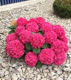 Heldere roze hydrangea hortensiastruik Stock Fotografie