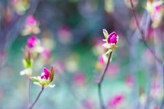 Heldere roze knoppen van de lentebloemen op vage achtergrond in bloesemtuin Bloeiende boom in de lente stock afbeelding