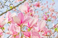 Heldere roze magnolia's Stock Afbeelding