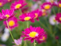 Heldere Roze Mums-bloemen in bloei in de tuin stock fotografie