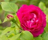 Heldere roze nam in aard toe royalty-vrije stock afbeeldingen