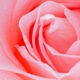 Heldere Roze nam Close-up toe Royalty-vrije Stock Afbeeldingen