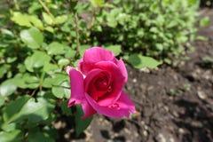 Heldere roze nam met dalingen van dauw toe Royalty-vrije Stock Foto's