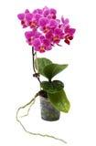 Doorboor Orchidee in Geïsoleerde de Pot van de Bloem royalty-vrije stock afbeelding