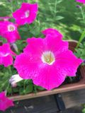 Heldere roze petunia Royalty-vrije Stock Afbeeldingen