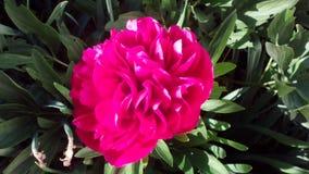 Heldere roze pioen Royalty-vrije Stock Afbeelding