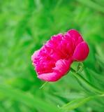 Heldere roze pioen in aard stock fotografie