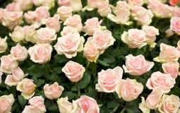 Heldere roze rozenachtergrond Royalty-vrije Stock Afbeeldingen