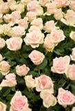 Heldere roze rozenachtergrond Royalty-vrije Stock Fotografie