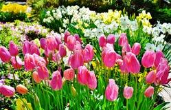 Heldere roze tulpen Royalty-vrije Stock Afbeeldingen