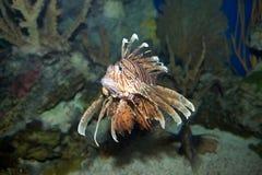 Heldere schorpioenenvissen Royalty-vrije Stock Foto's