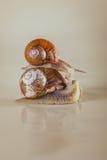 Heldere slak, kleverig shell, Stock Foto