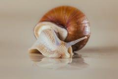 Heldere slak, kleverig shell, Royalty-vrije Stock Afbeelding