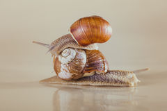 Heldere slak, kleverig shell, Royalty-vrije Stock Foto