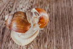 Heldere slak, kleverig shell, Royalty-vrije Stock Afbeeldingen