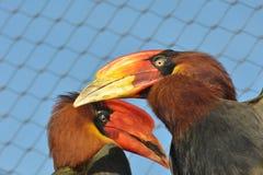 Heldere snavelvormige hornbills Royalty-vrije Stock Afbeelding
