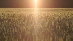 Heldere straal die van licht op tarwegebied vallen, wind slingerend gras, ufoaankomst stock videobeelden