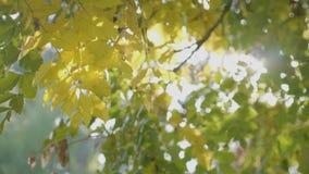 Heldere stralen die van zonlicht over gele de herfstbladeren glanzen in stadspark en wind die langzaam blazen - stock footage