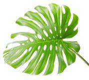 Heldere tropische blad dichte omhooggaand met gaten Stock Afbeelding