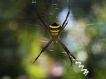 Heldere tropische spin: het lichaam in zwarte en gele strepen, lange bruine benen die, in het midden van groot dun Web in backg z Royalty-vrije Stock Fotografie
