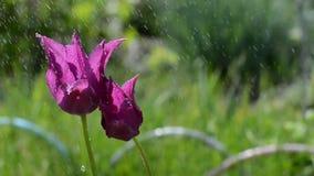 Heldere tulpen in de regen in de tuin stock footage