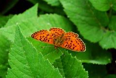 Heldere vlinder Stock Afbeelding