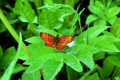 Heldere vlinder Royalty-vrije Stock Afbeeldingen