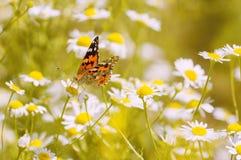 Heldere vlinder op de bloemen van kamille Mooie de zomerfoto stock afbeelding