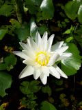 Heldere witte lotusbloem stock afbeeldingen
