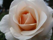Heldere zoete perzik-wit nam dicht op het bloeien in de zomer toe royalty-vrije stock afbeeldingen