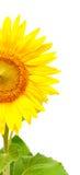 Heldere zonnebloem Royalty-vrije Stock Afbeelding