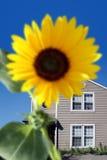 Heldere zonnebloem royalty-vrije stock afbeeldingen