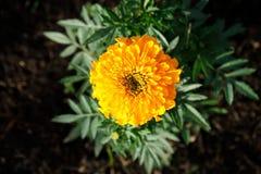 Heldere zonnige oranje bloemclose-up stock afbeelding