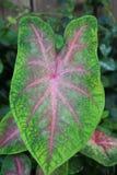 Heldergroen en Roze Caladium-Blad Royalty-vrije Stock Afbeelding