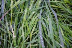 Heldergroen gras in regendruppels Stock Foto's