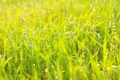 Heldergroen heerlijk gras met dalingen Stock Foto