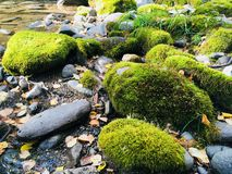 Heldergroen mos in het bos Stock Foto