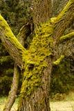 Heldergroen Mos op boomboomstammen Stock Afbeelding