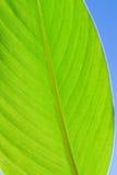 Heldergroen vers bladclose-up op blauwe hemelachtergrond Royalty-vrije Stock Afbeelding