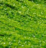 Heldergroen zeewier Stock Foto