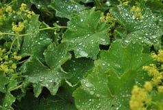 Heldergroene bladeren met waterdrops na regen Stock Afbeelding