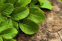 Heldergroene bladeren op grijze houten achtergrond Stock Foto's
