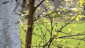 Heldergroene bladeren van berk in de lente stock video