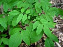 Heldergroene bladeren van de bedreigde witte asboom in een bos Royalty-vrije Stock Afbeelding