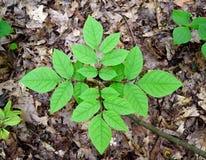 Heldergroene bladeren van een het te voorschijn komen witte asboom in een bos Royalty-vrije Stock Afbeeldingen
