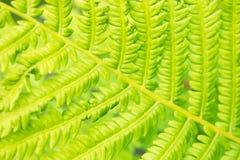 Heldergroene bladeren van een varen Stock Foto